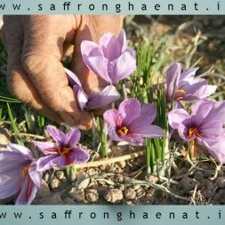 برداشت گل زعفران با توجه به شرایط منطقه ای