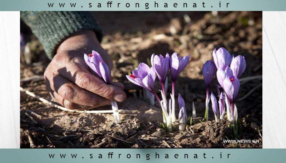 برداشت گل زعفران , آب و هوایی , منطقه ای