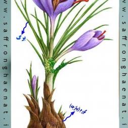 جداسازی ریشه زعفران از گل