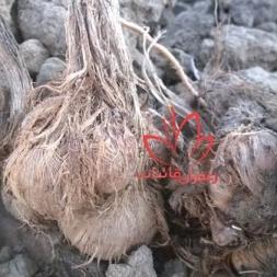 کاشت پیاز زعفران مرغوب منطقه قائنات