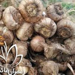 مشاوره فروش پیاز زعفران شیراز