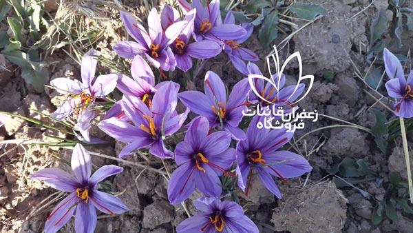 خرید زعفران نگین مشهد